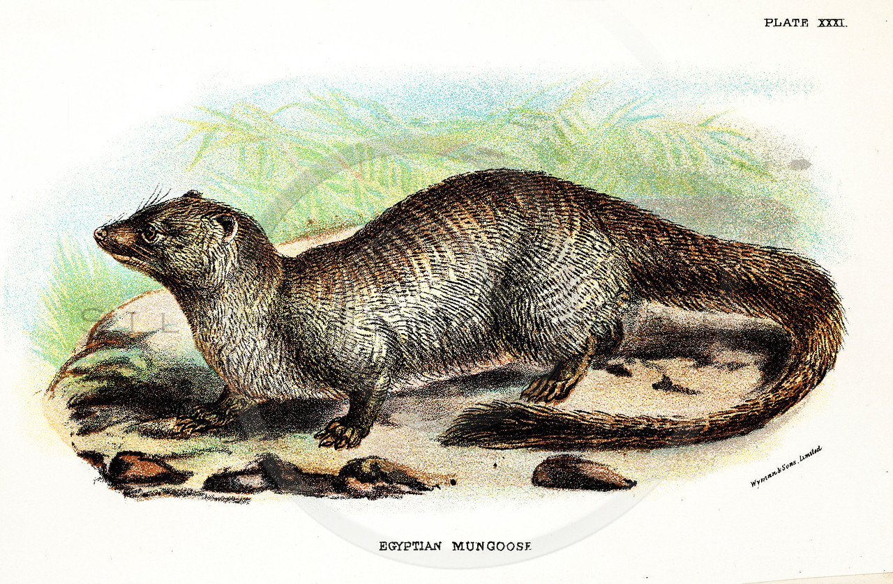 Vintage 1800s Color Illustration of a Mongoose - A HANDBOOK TO THE CARNIVORA by R.B. Sharpe.  The natural patina, age-toning, imperfections, and old paper antiquing of this vintage 19th century illustration are preserved in this image.