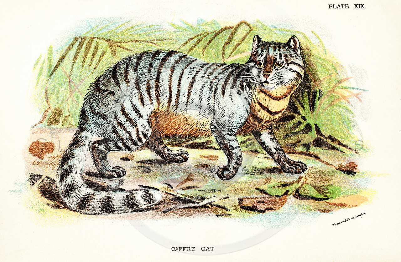 Vintage 1800s Color Illustration of a Caffre Cat - A HANDBOOK TO