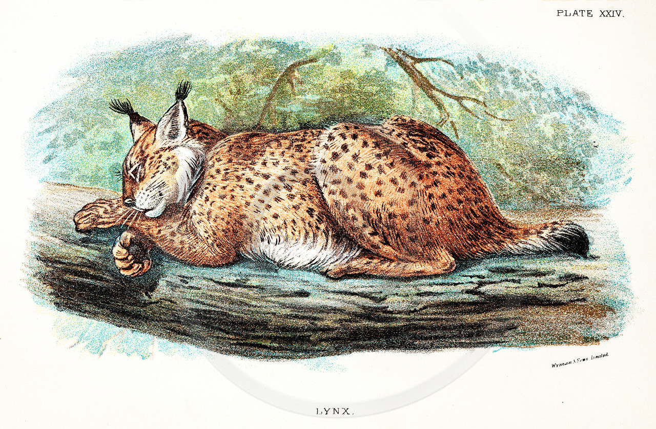 Vintage 1800s Color Illustration of a Lynx - A HANDBOOK TO THE CARNIVORA by R.B. Sharpe.  The natural patina, age-toning, imperfections, and old paper antiquing of this vintage 19th century illustration are preserved in this image.