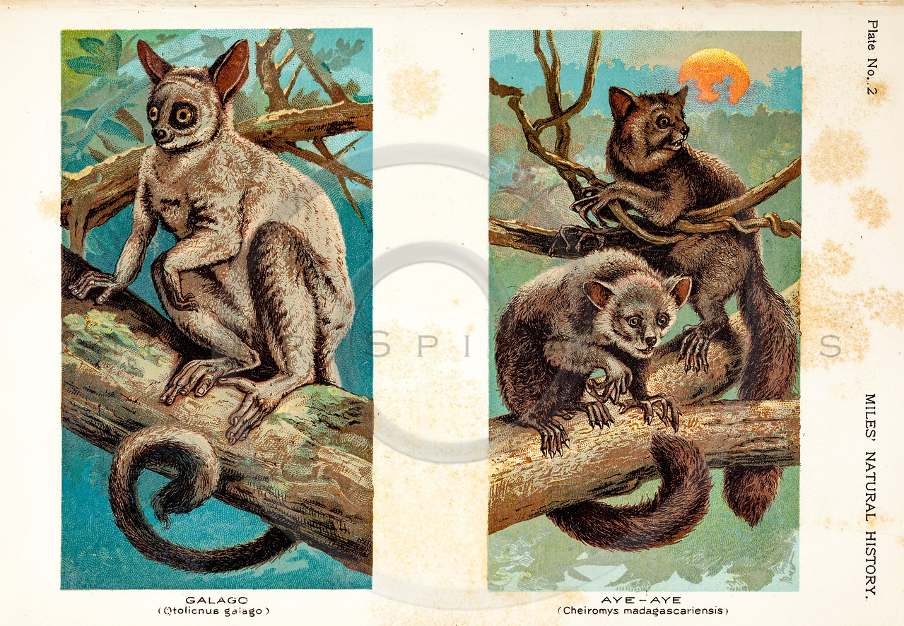 Vintage 1800s Color Illustration of Aya-Aye and Galago - FIVE HUNDRED FASCINATING ANIMAL STORIES by Alfred Miles.