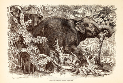Vintage 1800s Sepia Illustration of Wild Elephant - ANIMATED CREATIONS, J.G. Wood.