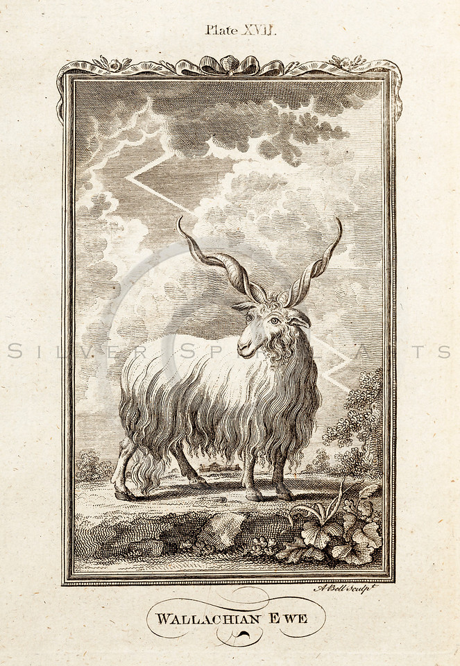 Vintage 1700s Sepia Illustration of a Sheep - NATURAL HISTORY by Count de Buffon.