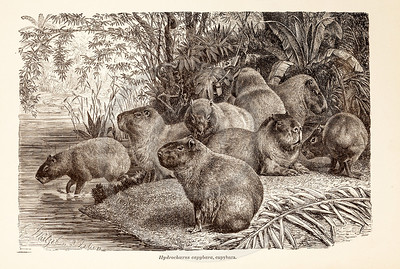 Vintage 1800s Sepia Illustration of Wild Capybara  - ANIMATED CREATIONS, J.G. Wood.