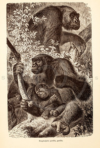 Vintage 1800s Sepia Illustration of Wild Gorillas - ANIMATED CREATIONS, J.G. Wood.