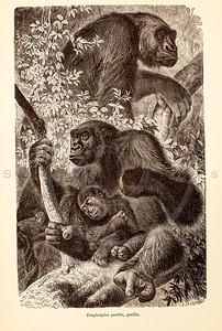 Vintage 1800s Sepia Illustration of Wild Gorillas - ANIMATED CREATIONS, J.G. Wood.