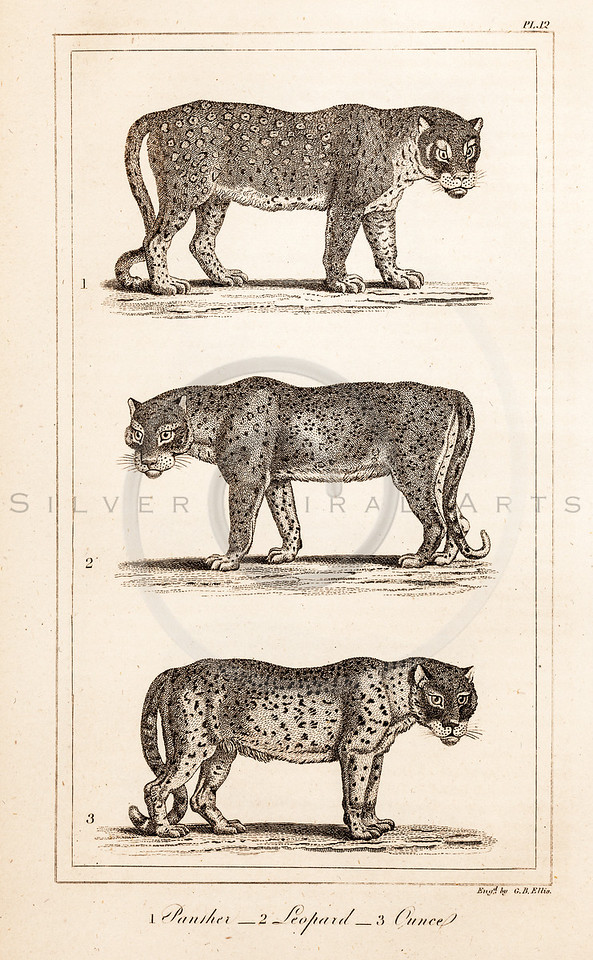 Vintage Illustration of Panther, Leopard, and Snow Leopard from History of the Earth and Illustrated Nature by Oliver Goldsmith, 1850 .  Antique digital download of old print - leopard, panther, snow leopard, ounce, cat, feline, animal, animals, nature, wild.  The natural age-toning, paper stains, and antique printing imperfections are preserved in this 1800s stock image.