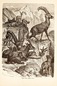 Vintage 1800s Sepia Illustration of Wild Ibex - ANIMATED CREATIONS, J.G. Wood.