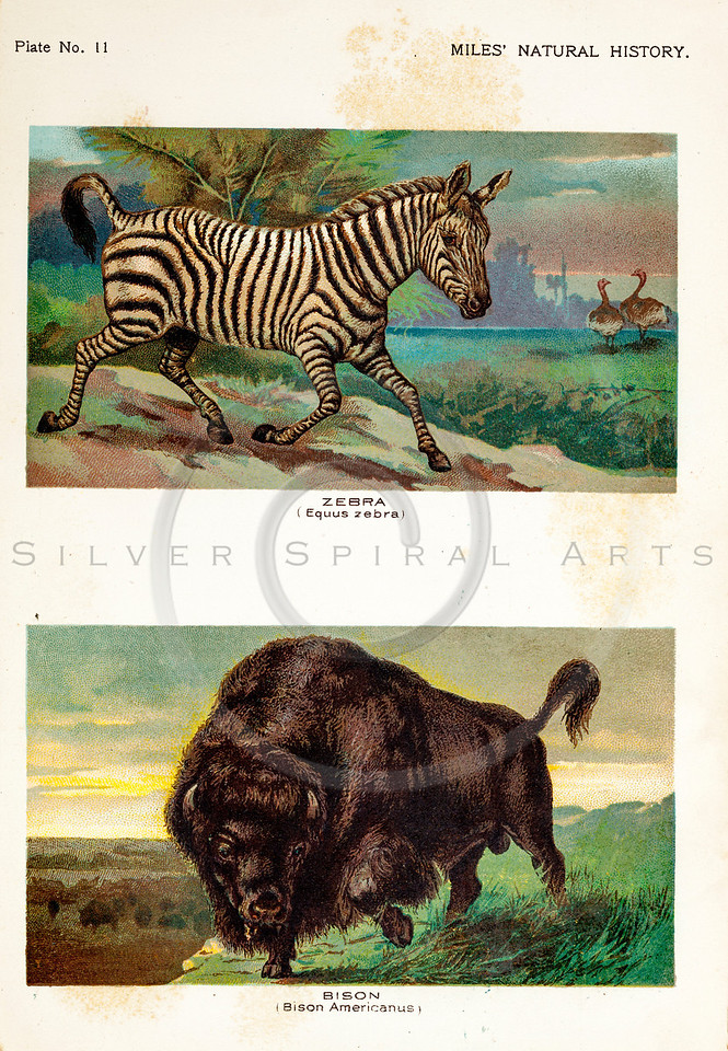 Vintage 1800s Color Illustration of Zebra and Bison - FIVE HUNDRED FASCINATING ANIMAL STORIES by Alfred Miles.