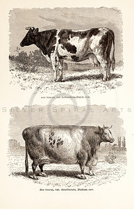 Vintage 1800s Sepia Illustration of Cows  - ANIMATED CREATIONS, J.G. Wood.