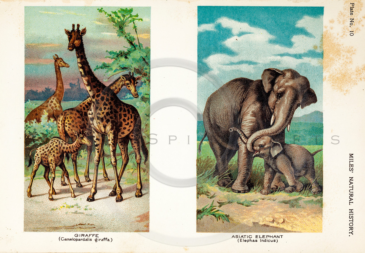 Vintage 1800s Color Illustration of Elephants and Giraffe - FIVE HUNDRED FASCINATING ANIMAL STORIES by Alfred Miles.
