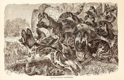 Vintage 1800s Sepia Illustration of Wild Hunting Dogs - ANIMATED CREATIONS, J.G. Wood.