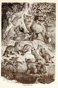 Vintage 1800s Sepia Illustration of Wild Foxes - ANIMATED CREATIONS, J.G. Wood.