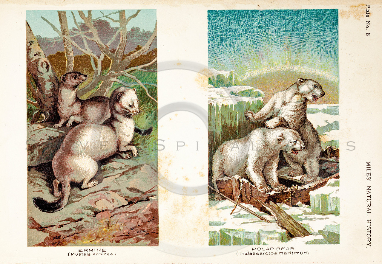 Vintage 1800s Color Illustration of Polar Bear and Ermine - FIVE HUNDRED FASCINATING ANIMAL STORIES by Alfred Miles.
