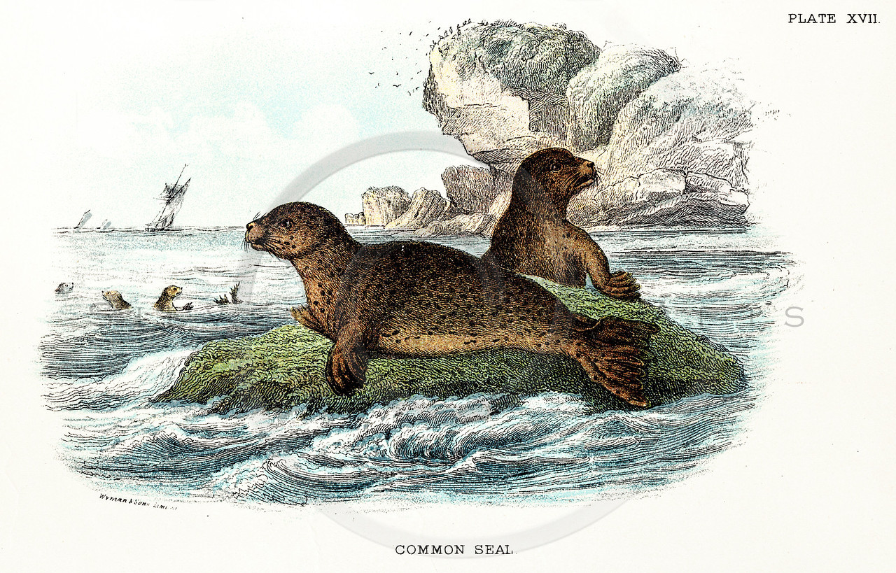 Vintage 1800s Color Illustration of Seals - A HANDBOOK TO THE CARNIVORA by R.B. Sharpe.  The natural patina, age-toning, imperfections, and old paper antiquing of this vintage 19th century illustration are preserved in this image.
