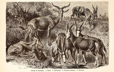 Vintage 1800s Sepia Illustration of Wild Antelope  - ANIMATED CREATIONS, J.G. Wood.