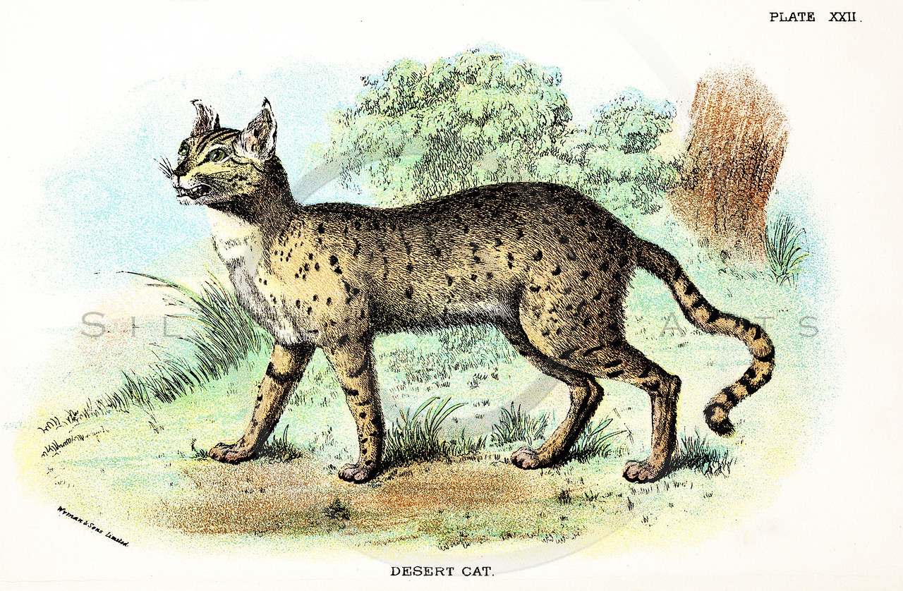 Vintage 1800s Color Illustration of a Desert Cat - A HANDBOOK TO THE CARNIVORA by R.B. Sharpe.  The natural patina, age-toning, imperfections, and old paper antiquing of this vintage 19th century illustration are preserved in this image.