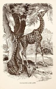 Vintage 1800s Sepia Illustration of Wild Giraffes - ANIMATED CREATIONS, J.G. Wood.