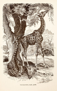 Vintage 1800s Sepia Illustration of Wild Giraffes - ANIMATED CREATIONS, J.G. Wood.