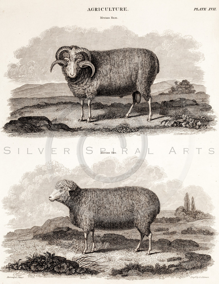 Vintage 1800s Sepia Illustration of Sheep - ENCYCLOPEDIA BRITANICA, 1842.