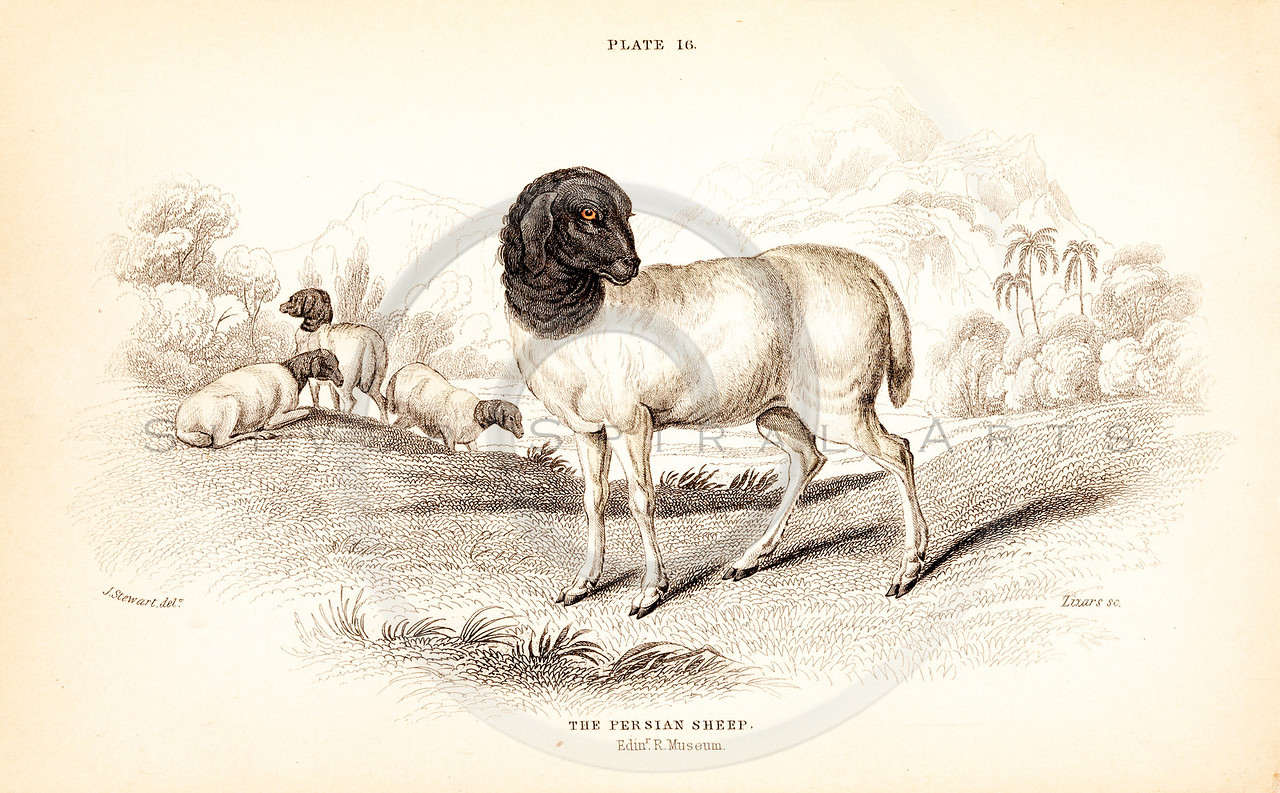 Vintage 1800s Color Animal Illustration of Persian Sheep from THE NATURALIST'S LIBRARY by William Jardine.  The natural patina, age-toning, imperfections, and old paper antiquing of this vintage 19th century illustration are preserved in this image.