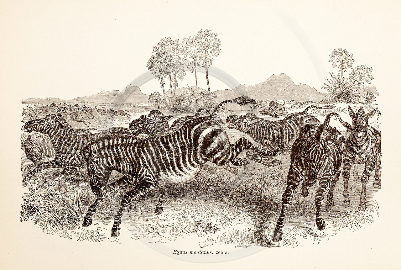 Vintage 1800s Sepia Illustration of Wild Zebras - ANIMATED CREATIONS, J.G. Wood.