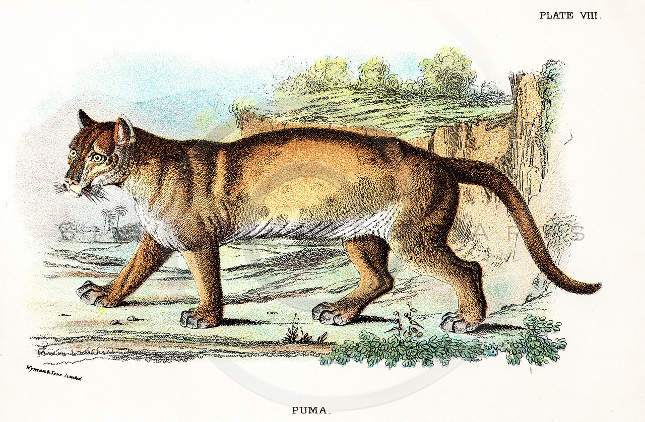 Vintage 1800s Color Illustration of a Puma - A HANDBOOK TO THE CARNIVORA by R.B. Sharpe.  The natural patina, age-toning, imperfections, and old paper antiquing of this vintage 19th century illustration are preserved in this image.