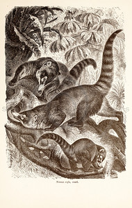 Vintage 1800s Sepia Illustration of Wild Coati  - ANIMATED CREATIONS, J.G. Wood.