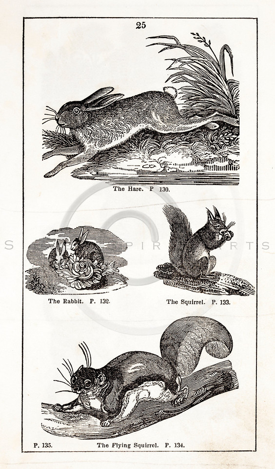Vintage 1800s Black & White Illustration of Rabbit, Squirrel, and Flying Squirrel - HISTORY OF THE EARTH & ANIMATED NATURE by Oliver Goldsmith.
