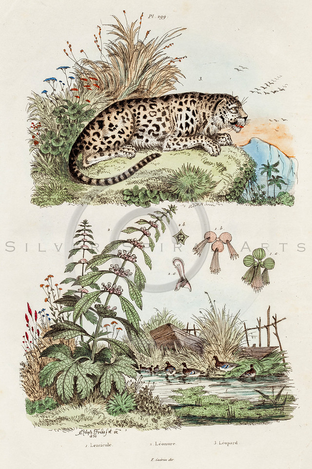 Vintage 1800s Color Illustration of Tiger - DICTIONNAIRE PITTORESQUE D'HISTOIRE NATURELLE by F.E. Guerrin.