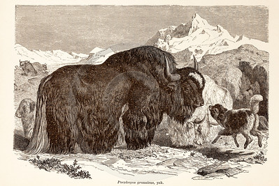 Vintage 1800s Sepia Illustration of Wild Yak  - ANIMATED CREATIONS, J.G. Wood.