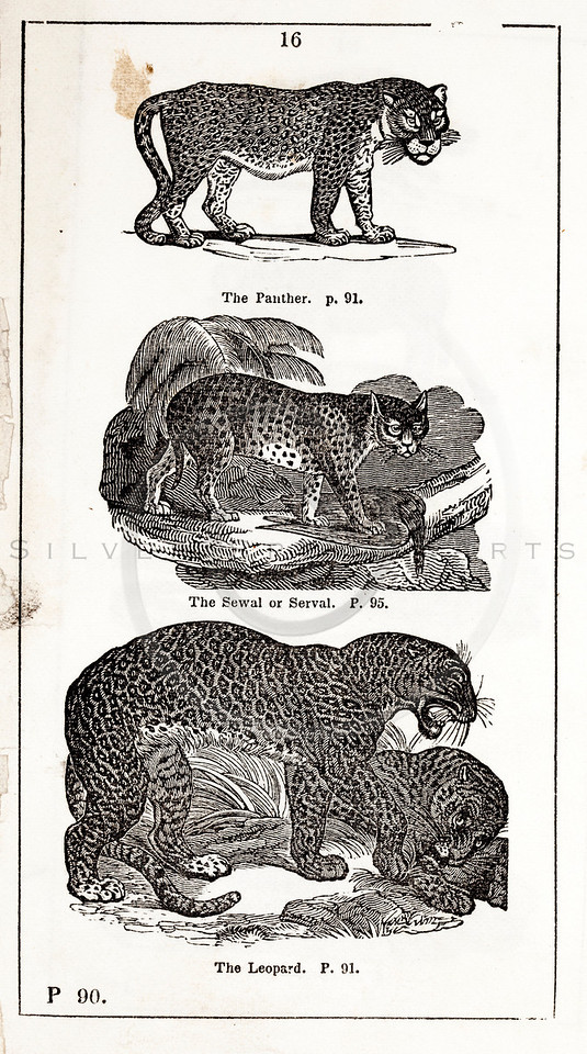 Vintage 1800s Black & White Illustration of Panther, Leopard, and Serval - HISTORY OF THE EARTH & ANIMATED NATURE by Oliver Goldsmith.
