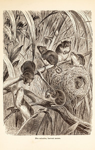 Vintage 1800s Sepia Illustration of Wild Harvest Mice - ANIMATED CREATIONS, J.G. Wood.