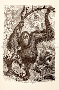 Vintage 1800s Sepia Illustration of Wild Orangutans  - ANIMATED CREATIONS, J.G. Wood.