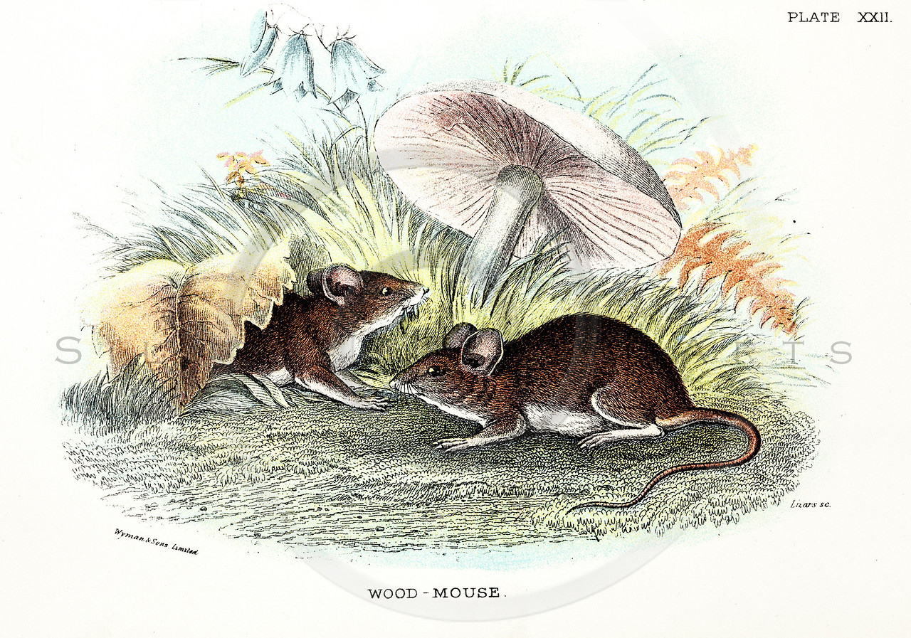 Vintage 1800s Color Illustration of Wood Mice - A HANDBOOK TO THE CARNIVORA by R.B. Sharpe.  The natural patina, age-toning, imperfections, and old paper antiquing of this vintage 19th century illustration are preserved in this image.