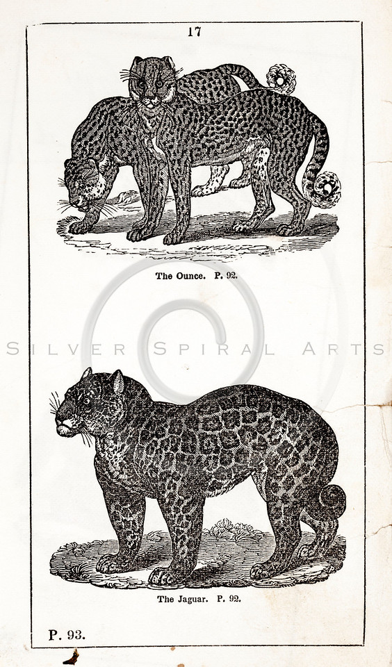 Vintage 1800s Black & White Illustration of Snow Leopard and Jaguar - HISTORY OF THE EARTH & ANIMATED NATURE by Oliver Goldsmith.