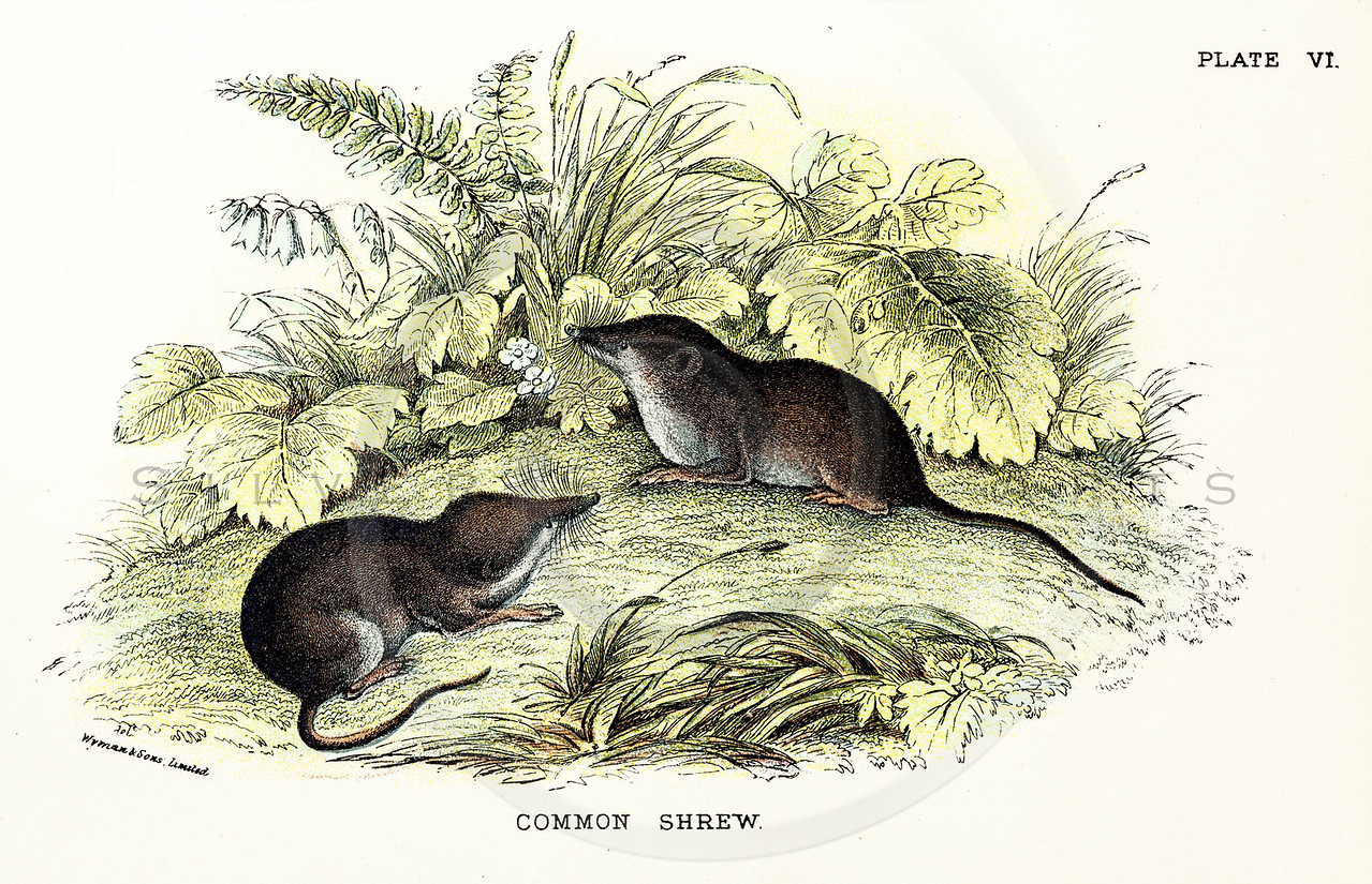 Vintage 1800s Color Illustration of Shrews - A HANDBOOK TO THE CARNIVORA by R.B. Sharpe.  The natural patina, age-toning, imperfections, and old paper antiquing of this vintage 19th century illustration are preserved in this image.