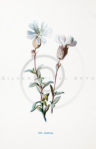 Vintage 1900s Color Lithograph Illustration of Sea Campion Flower from FAMILIAR WILD FLOWERS by F.E. Hulme.  The natural patina, age-toning, imperfections, and old paper antiquing of this vintage 19th century illustration are preserved in this image.