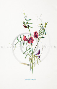 Vintage 1900s Color Lithograph Illustration of Vetch Flower from