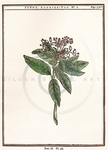 Vintage illustration of Laurel Flowers from Duhamel, 1755.  Antique digital download of old print - botany, botanical, flower, flowers, petal, leaves, plant, nature, laurel.  The natural age-toning, paper stains, and antique printing imperfections are preserved in this 1700s stock image.