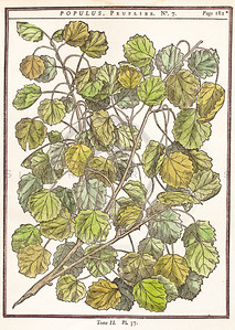 Vintage illustration of Poplar Leaves from Duhamel, 1755.  Antique digital download of old print - botany, botanical, poplar, leaves, plant, nature.  The natural age-toning, paper stains, and antique printing imperfections are preserved in this 1700s stock image.