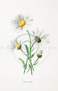 Vintage 1900s Color Lithograph Illustration of Daisy Flower from FAMILIAR WILD FLOWERS by F.E. Hulme.  The natural patina, age-toning, imperfections, and old paper antiquing of this vintage 19th century illustration are preserved in this image.