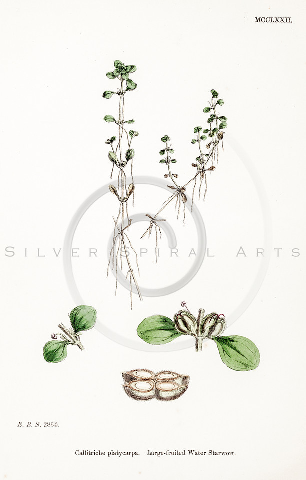 Vintage 1800s Color Illustration of a Leaved Plant from ENGLISH BOTANY by John Sowerby.  The natural patina, age-toning, imperfections, and old paper antiquing of this vintage 19th century illustration are preserved in this image.