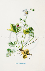 Vintage 1900s Color Lithograph Illustration of Strawberry Flower from FAMILIAR WILD FLOWERS by F.E. Hulme.  The natural patina, age-toning, imperfections, and old paper antiquing of this vintage 19th century illustration are preserved in this image.