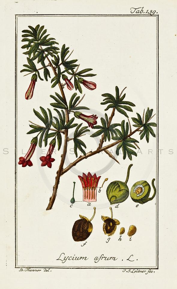 1700's Vintage Color Illustration of Medicinal Plants by Johannes Zorn
