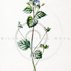 Vintage 1900s Color Lithograph Illustration of Speedwell Flower from FAMILIAR WILD FLOWERS by F.E. Hulme.  The natural patina, age-toning, imperfections, and old paper antiquing of this vintage 19th century illustration are preserved in this image.