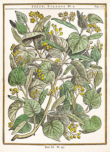 Vintage illustration of Tilia Leaves and Flowers from Duhamel, 1755.  Antique digital download of old print - tilia, leaves, flowers, nature, wild, botanical, botany.  The natural age-toning, paper stains, and antique printing imperfections are preserved in this 1700s stock image.
