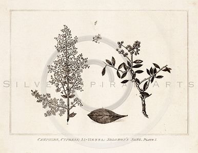 Vintage 1700s Sepia Illustration of Leaves and Branches - FRAGME
