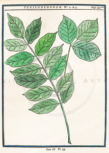 Vintage illustration of Botanical Leaf Print from Duhamel, 1755.  Antique digital download of old print - leaf, leaves, plant, green, botany, botanical, nature.  The natural age-toning, paper stains, and antique printing imperfections are preserved in this 1700s stock image.