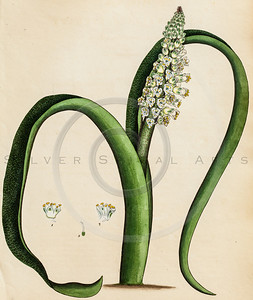 Vintage illustration of Lachenalia Flower Plant from H. Andrew's The Botanist's Repository.  Antique digital download of old print - lachenalia, color, flower, plant, nature, plants, floral, botany, botanical, leaf, leaves, green.  The natural age-toning, paper stains, and antique printing imperfections are preserved in this 1800s stock image.