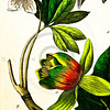 "Vintage Color Illustration of Schubert's ""Naturgeschichte"" - Hand Colored flowers from Germany 1800s"